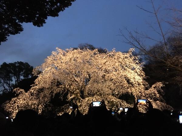 六義園枝垂桜